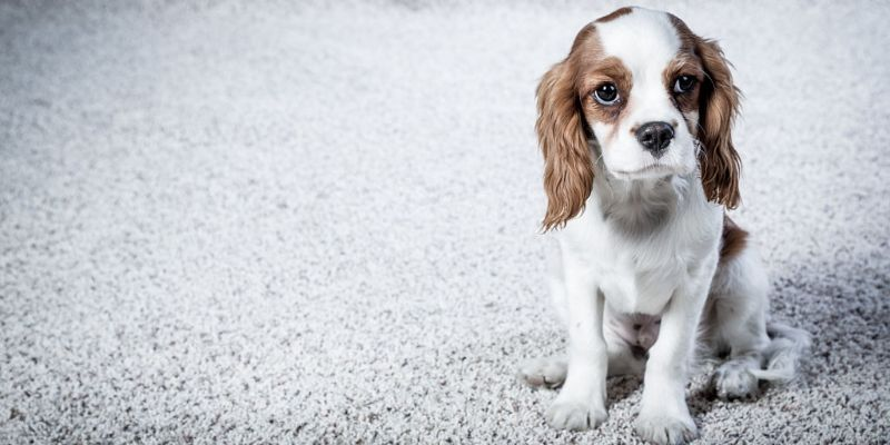 The Best Carpet For Pets Flooring Clarity Flooring